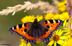 Small Tortoiseshell (raven fandango) Tags: small tortoiseshell aglais urticae july 2018 badgers retreat tunstall northyorkshire british bokeh butterfly britain butterflies canon countryside eos 7dmkii 100mm red england english garden insects insect kingdom macro nature north photo photos park dof dales trust uk unitedkingdom yorkshire yorkshiredales yellow ragwort close closeup wildlife wild summer
