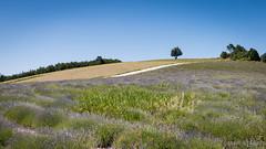 (Décl'ike) Tags: arbres végétaux natureetpaysages stagephoto lieux montagnedelure paysages evènements 169 herbe lavande cadrage fleurs
