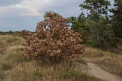 Altruïstisch eikje (Tim Boric) Tags: boom droogte oak drought