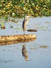 Morning Reflection (Doug Wensink) Tags: great blue heron waterfowl shorebird bird animal wildlife reflection pond lake