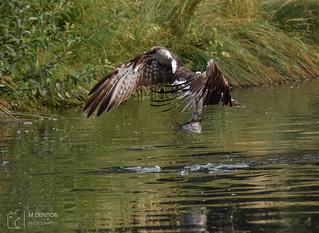 Osprey with catch