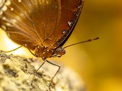 Plaid eye (dayonkaede) Tags: plaid eye nature butterfly insect olympus em1markii m60mm f28 macro olympusem1markiiolympus