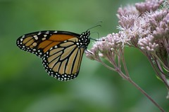 The Monarch (kirsten.eide) Tags: colors insects animals wisconsin summer nature butterfly