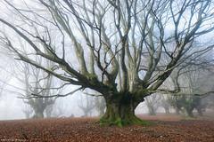 Medusa (Hector Prada) Tags: forest bosque tree árbol fog niebla mist bruma fractal medusa hayedo beechforest dreamy magic mood atmósfera paísvasco basquecountry