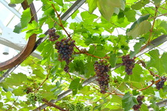 Kennett Square, PA - Longwood Gardens - Conservatory - Estate Fruit House - Grapes (jrozwado) Tags: northamerica usa pennsylvania garden conservatory kennettsquare longwoodgardens fruit grape
