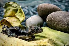 A kind of still life (colour) (Phancurio) Tags: stilllife frog flies