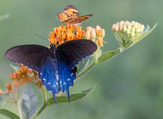 Pipevine Swallowtail with a friend