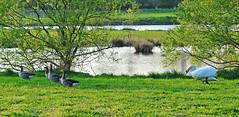 Swan attack on a flock of Grey Goose / Schwanenattacke auf einen Trupp Graugänse (Manfred_H.) Tags: nature tiere animals vögel birds wasservögel whiteswan attack graugänse schwan höckerschwan greygoose naturschutzgebiet naturereserve see lake