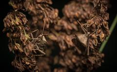 Coreus marginatus (Linnaeus, 1758) (Benjamin Fabian) Tags: insect macro close up dock bug true coreus marginatus hemiptera heteroptera coreidae