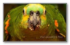 When i'm eating, I'm eating! (Oul Gundog) Tags: birds parrots colour face seed portrait wild zoo hellabrunn bavaria germany