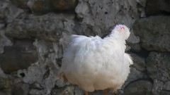 DSCN4254 poulailler 09 (canard de barbarie) Ecancourt (jeanchristophelenglet) Tags: écancourtfrancefermedécancourt poulailler chickencoop galinheiro canarddebarbarie muscovyduck patoselvagem