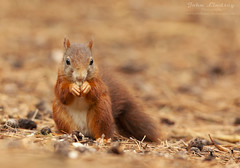 RS3 WM (John Thirkell) Tags: wild wildlife formby beach liverpool red squirrel sciurus vulgaris tree trees wood woods forrest woodland woodlands habitat nature food feed feeding