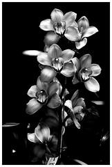 """""""Orquídea""""_BN. Captada de la Exposición de Orquídeas y Flores. Jardín Botánico de Medellín. Feria de Flores 2018. (jedv99) Tags: orquídeas orchid sony 7m2 flower black withe fine art photograhy"""