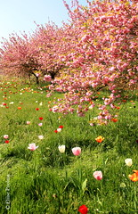 Sea of blossoms (Eliise Poolma) Tags: spring london tulips cherry pink beautiful lush grass tree flowers blossoms botanical garden kew