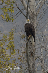Out on a limb (littlebiddle) Tags: bird aves nature wildlife feathers