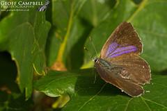 Purple Hairstreak (Neozephyrus quercus) (gcampbellphoto) Tags: purple hairstreak neozephyrus quercus butterfly insect nature wildlife macro female scarce northern ireland gcampbellphoto wood oak