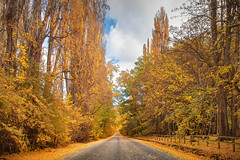 Yellow Avenue || ARROWTOWN || NZ (rhyspope) Tags: nz new zealand arrowtown autumn fall foliage road street avenue fence travel amazing queenstown rhys pope rhyspope canon 5d mkii trees forest