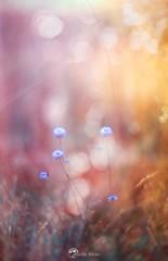 Pink and Orange (Borislav Aleksiev) Tags: pink orange blue purple flowers nature bokeh light nikon