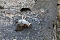 Sparrow # 1 (just.Luc) Tags: sparrow mus moineau spatz bird vogel oiseau animal dier tier wall muur mur mauer parijs parigi paris îledefrance france frankrijk frankreich francia frança europa europe gaia nature natuur monochroom monochrome monotone