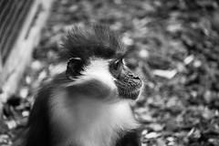 O no tanto (Lograi) Tags: barcelona cataluña catalunya catalonia españa espanya spain geoetiquetada geotagged zoo zoológico blancoynegro bw byn blackandwhite blackwhite bn macaco macaque mono monkey simio ape primate