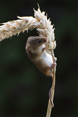 Harvest Mice (Photography by Ali Roberts) Tags: harvestmice cute rodent tiny quick