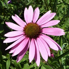 Wheaton, IL, Cantigny Park, Pink Coneflower (Mary Warren 11.4+ Million Views) Tags: wheatonil cantignypark nature flora plants park garden pink bloom blossom flower coneflower