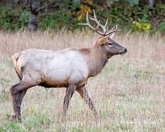 Elk 34 (augphoto) Tags: augphotoimagery cervuselaphus elk animal mammal nature outdoors wildlife waynesville northcarolina unitedstates