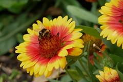 Bee (DaveC...) Tags: pentaxm50mm17 legacylens bokeh flowerhead bee gaillardia pollen closeup summer petals stamen pistil