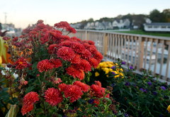 Seaside Blooms (Heather's Reflections Photography) Tags: flowers sea seaside maine ogunquit coast coastal eastcoast atlantic ocean red flower yellow sunset evening twilight newengland town small light water landscape purple marina sailboats dock blooms blooming