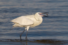 Reddish Egret (white morph) (Gary McHale) Tags: gulf coast fort myers florida reddish egret white morph fishing fish feeding gary mchale coth5