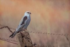 Black-shouldered beauty DSC_3849 (BlueberryAsh) Tags: blackshouldered kite elanusaxillaris raptor birdofprey bird australianbird nikond500 tamron150600 fence nature wildlife
