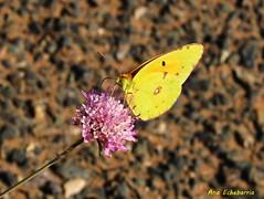 Una mariposa para Pra (kirru11) Tags: mariposa florsilvestre tudelilla larioja españa canonpowershot
