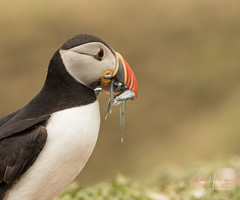Atlantic Puffin (Ian howells wildlife photography) Tags: ianhowells ianhowellswildlifephotography nature naturephotography nationalgeographic unitedkingdom wildlife wales wild wildbirds canon canonuk puffin skomer
