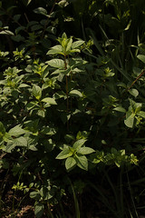 jdy152XX20180601a4781Bias-1.7 stops.jpg (rachelgreenbelt) Tags: ordercornales eudicots hydrangeapaniculatastrawberrysundae2017 familyhydrangeaceae asteridsclade hydrangeapaniculatastrawberrysundae oneplant singleplantportrait