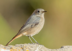 JWL5171  Black Redstart.. (jefflack Wildlife&Nature) Tags: blackredstart redstart redstarts songbirds wintermigrant birds avian animal animals wildlife wildbirds woodlands countryside coastalbirds coastline coastal coast moorland heathlands wildlifephotography jefflackphotography nature