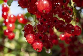 Red currant / Красная смородина