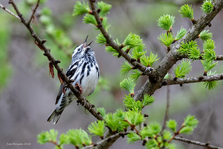 Black-and-white Warbler 2018a