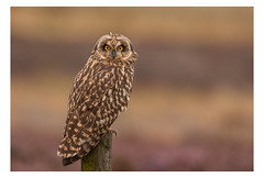 Short Eared Owl (SEO) (Alan-Taylor) Tags: asioflammeus seo shortearedowl owl birdofprey bird yorkshire nature moorland
