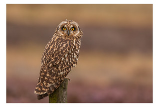 Short Eared Owl (SEO)