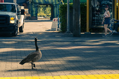 Share Street (Photo Alan) Tags: vancouver canada birds canadagoose goose street streetphotography leica leicam10 leica90mmf20 vancouverstreet nature