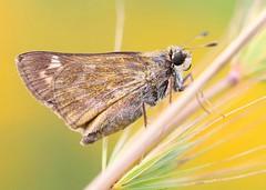 sachem (Atalopedes  campestris) at Decorah Prairie IA 653A1792 (lreis_naturalist) Tags: sachem skipper butterfly female atalopedes campestris decorah prairie winneshiek county iowa larry reis