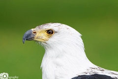 African Fish Eagle 2 (Mike House Photography) Tags: bird prey falcon eagle hawk talons beak wings flying flight fly yellow green brown white eyes sharp meat eater tail tips conservation wildlife animal photography
