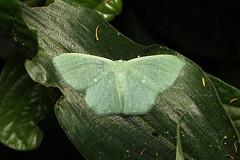 Geometridae sp. - Bigodi, Uganda (Nick Dean1) Tags: animalia arthropoda arthropod hexapoda hexapod insect insecta lepidoptera moth isunga kibalenationalpark kibale uganda