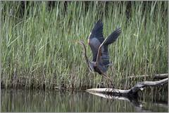 Ardea purpurea, _DSC9809_NKD500_Flix (Francesc //*//) Tags: ardeapurpurea agróroig garsa garzaimperial purpleheron aus aves animal au ave flix