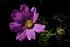 Schmuckkörbchen (Cosmos bipinnatus) (Kat-i) Tags: kosmee scmuckkörbchen cosmosbipinnatus blume flower blüte blossom pink puple macro makro nikon1v1 kati katharina 2018
