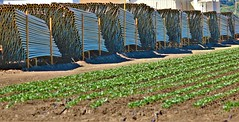 June21Image2473 (Michael T. Morales) Tags: agriculture farm cultivation rows furrows soil harvest salinasvalley ag