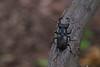 Jelenak (salaminijo) Tags: macro wood tree insecta insekt arthropoda coleoptera lucanidae jelenak šuma canon focus pics detail ser bokeh lenses