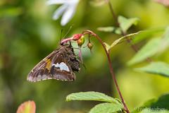 Silver-spotted Skipper (Epargyreus clarus) (Frode Jacobsen) Tags: silverspottedskipper epargyreusclarus butterfly lepidoptera insect westvirginia dollysodswilderness frodejacobsen canoneos7dmarkii canonef30040lisusm