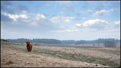 Luna (Eline Lyng) Tags: heifer cow cattle farm animal farmanimal norway østfold fog nature landscape field skotskhøylandsfe scottishhighlandcattle luna fuji xt2 fujixt2 16mm fujinon16mm fujinon wideangle