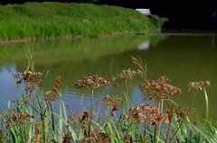 1479-49L (Lozarithm) Tags: caenhill devizes wilts canals kennetavon kennetandavon flora wildflowers pentax k50 zoom 1855 smcpda1855mmf3556alwr